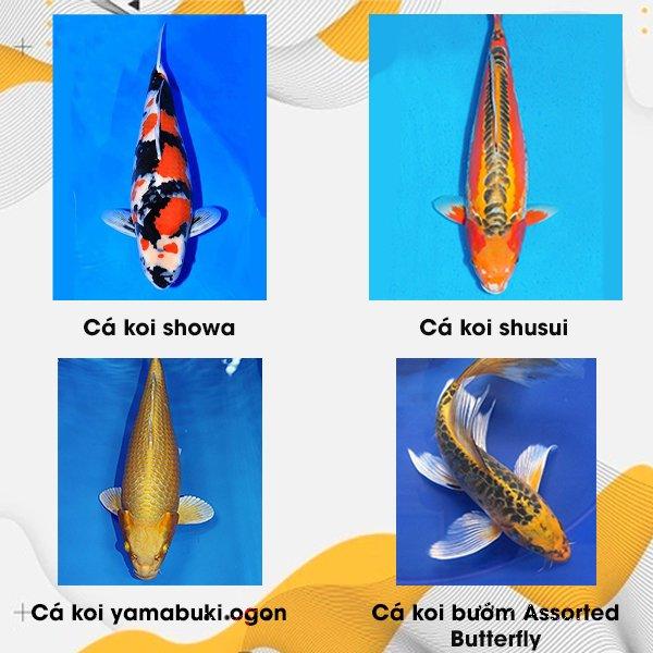 Các mẫu cá koi hiện nay